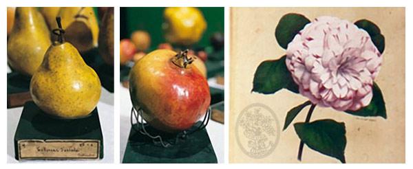 1870 Frutti in cera e camelia