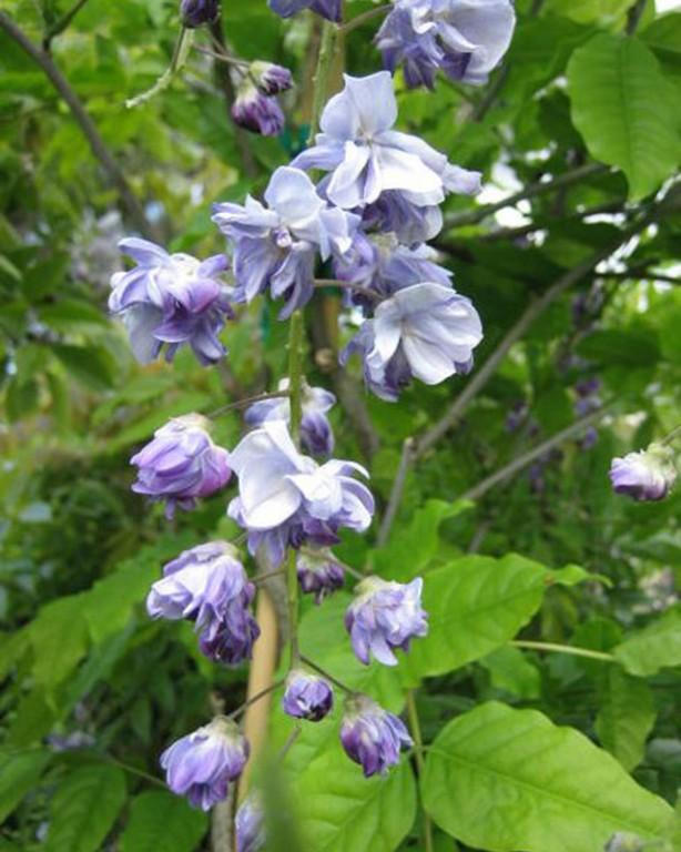 0013_wisteria-floribunda_issai