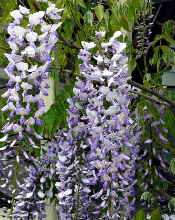 0014_wisteria-floribunda_lawrence