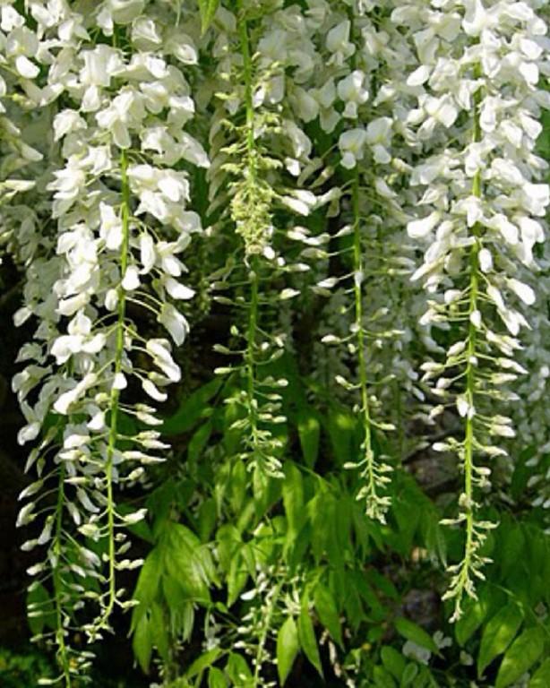 0016_wisteria-sinensis_alba