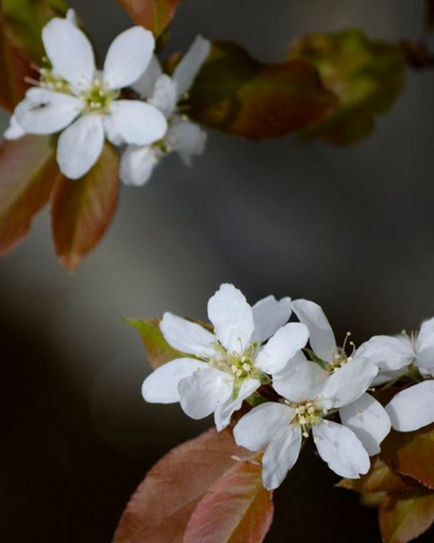 001_amelanchier-canadensis