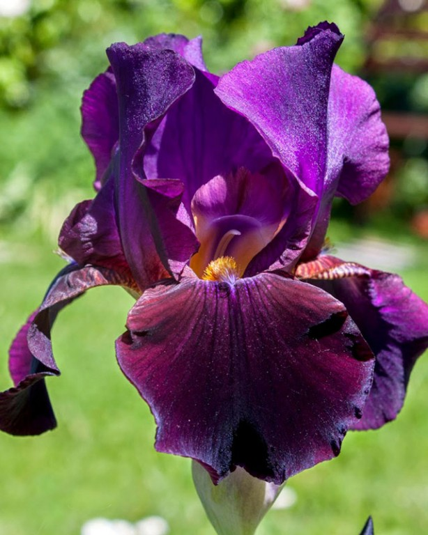 004_iris-germanica