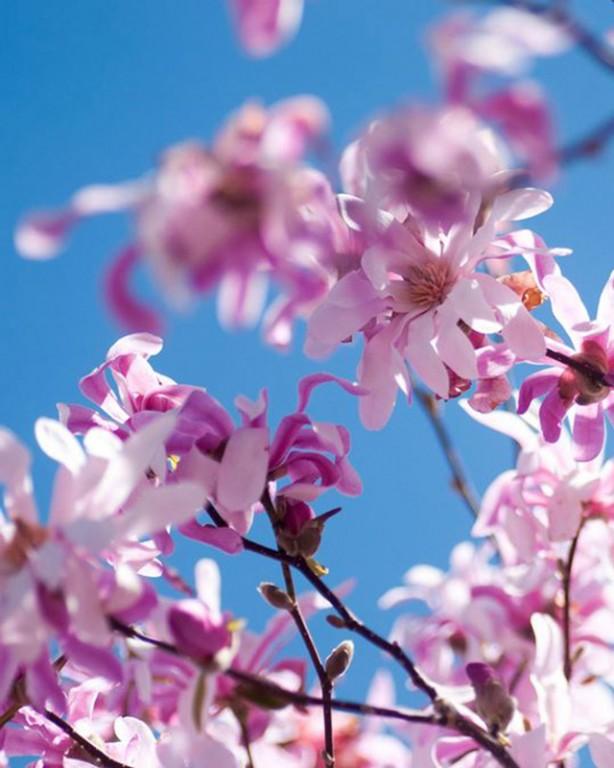 006_magnolia_leonard-messel