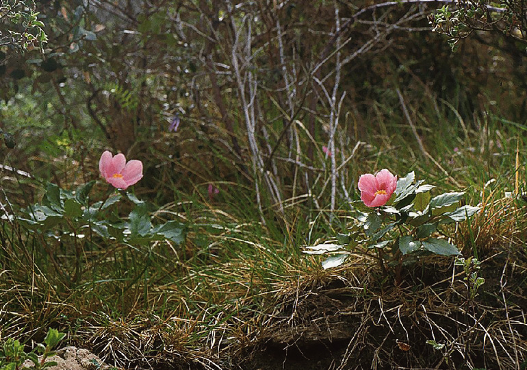 paeonia-mascula-subsp-russoi